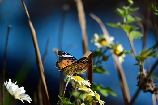 국화에 띄는 호랑 나비