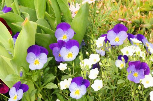 제비꽃 봄 카야 꽃 축제 원예 화단 4 월 5 월