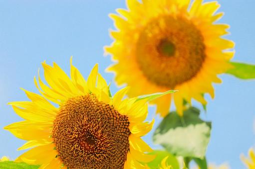 Energetic sunflower ③
