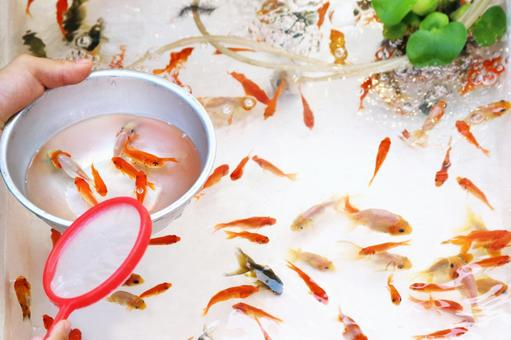 Goldfish scooping 4