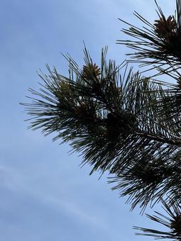 길쭉한 잎 소나무가 된 솔방울 열매