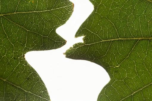 양배추의 잎 끝 (여러 장) 13