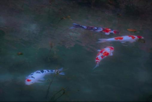 모네의 연못에서. . . 하트 잉어