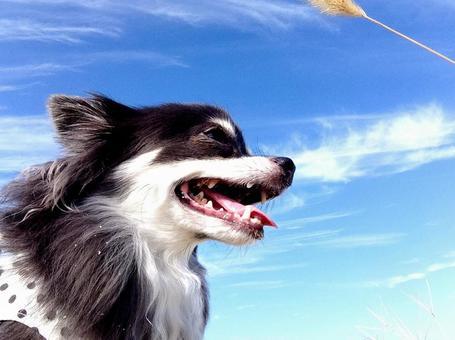 Blue skies and Chihuahuas
