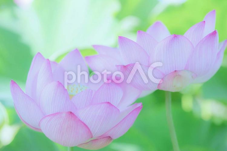 寄り添うように咲く蓮の花の写真