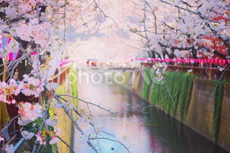 目黒川のお花見散歩の写真