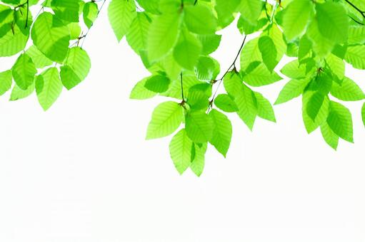 Beech twig _ clipping _ 4