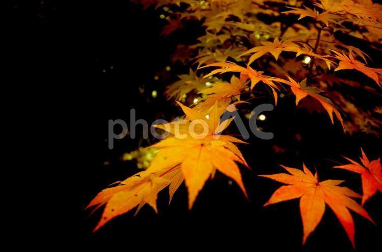 秋 もみじ 紅葉 楓の写真