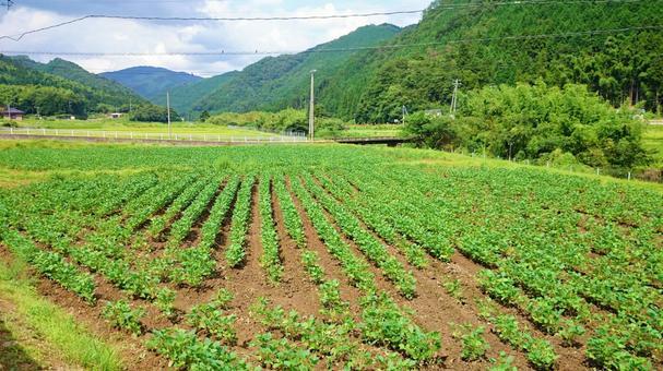 작물을 정렬하는 여름 밭의 모습