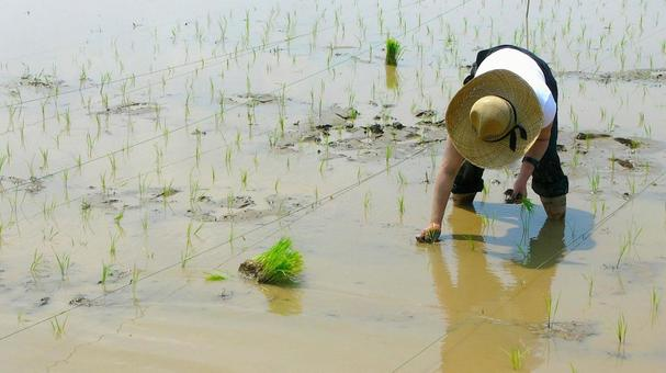 모내기 여성 手植え 벼농사 자연