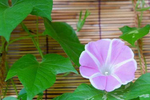 Yohaku Asagao Pink