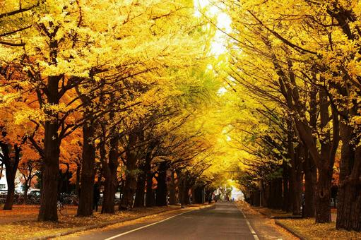 Ginkgo trees in late autumn