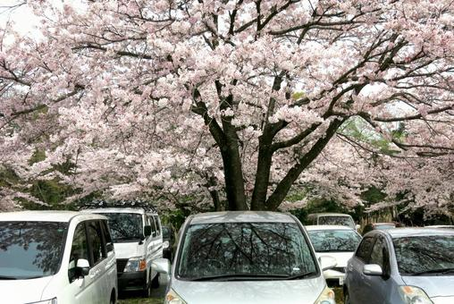 Cherry at parking lot