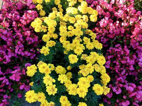 Marigold Begonia