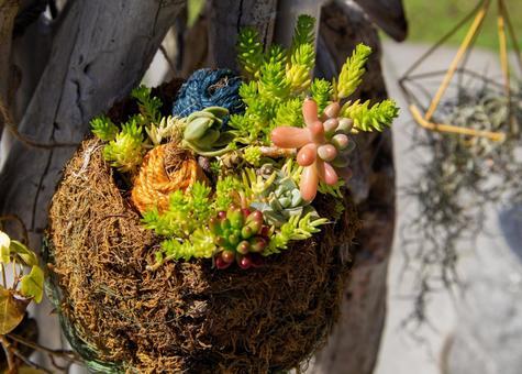 Hanging basket of succulents