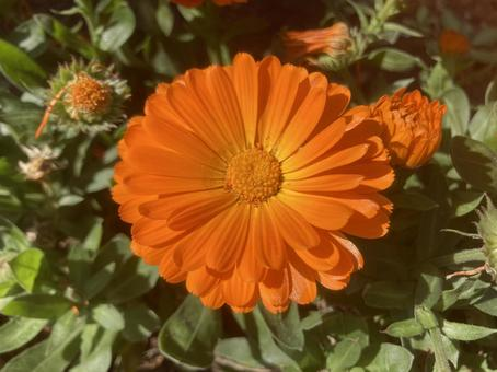 오렌지 gerbera 데이지 꽃