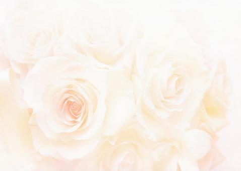 Roses _ pale cream background