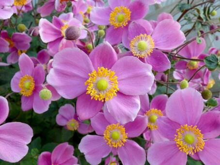Anemone in full bloom