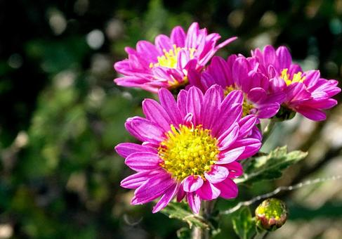 Chrysanthemums blooming in the light