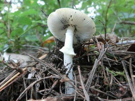 시로 알 코 타케 버섯 벌레