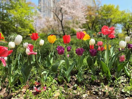 Tulips in Shinjuku Park
