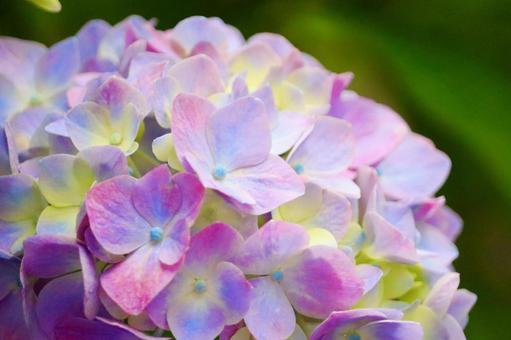 Cute hydrangea flower up