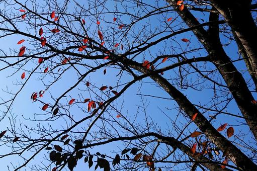 Blue sky and red dead leaves