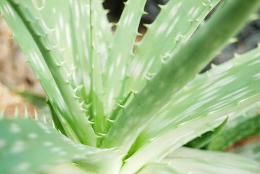 알로에 [식물]