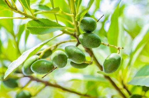 올리브 열매