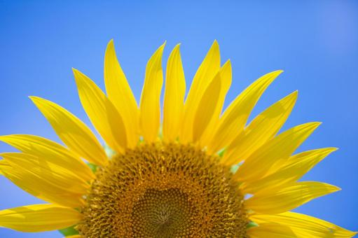 Blue sky and sunflower 1