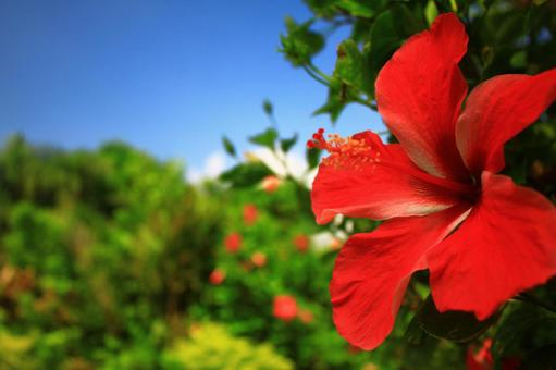 Summer hibiscus of tropical country