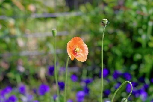병아리하지의 꽃