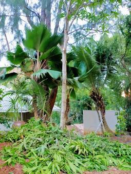 세이셸 망고 나무 벌목
