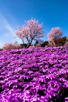 Moss phlox and cherry blossoms The beginning of spring in Hokkaido (Part 6) Search word / Sakura Creator name / YUTO @ PHOTOGRAPHER