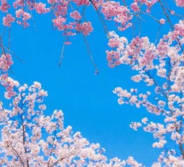 Beautiful blue sky and beautiful cherry blossoms