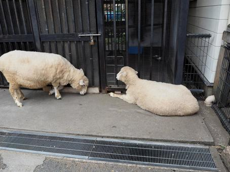 Two sheep trying to jailbreak