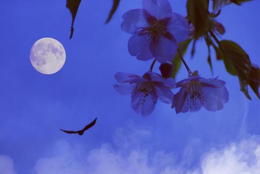 Kawazu cherry blossom night