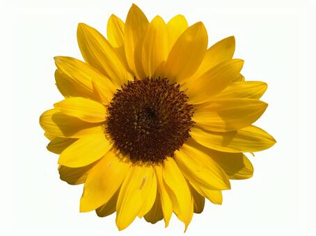 Sunflower clipping masked