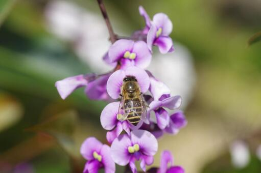A bee perching on a flower of Harden Bergia