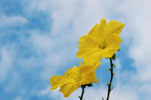 Loofah flowers and summer blue sky