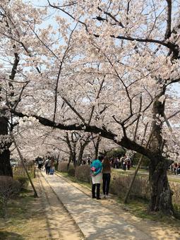 Yoshino cherry tree (Sakura) 012