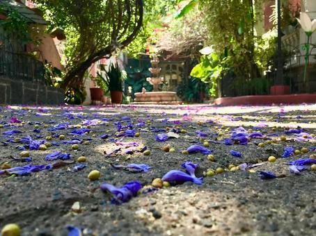 [멕시코] 땅에 떨어졌다 하카 란다 (능소화)의 꽃다발