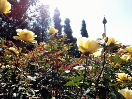 노란 장미 정원 1