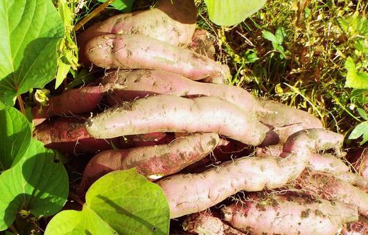 고구마 수확 ⑥