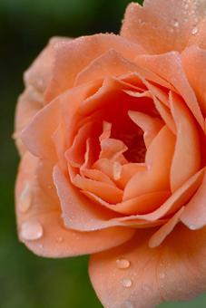 帶有晨露的鮭魚粉玫瑰的宏觀鏡頭 垂直科學名稱孟加拉語