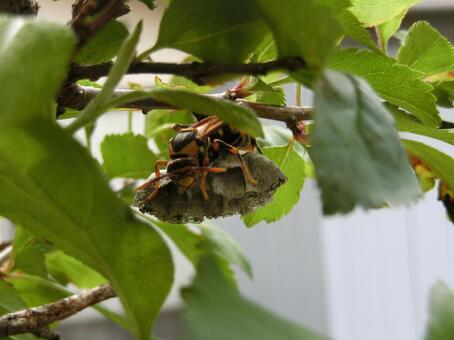Queen bees forming a nest