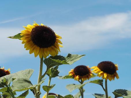 Image of sunflower midsummer