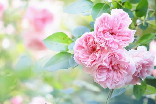 粉紅色的秋玫瑰花秋玫瑰