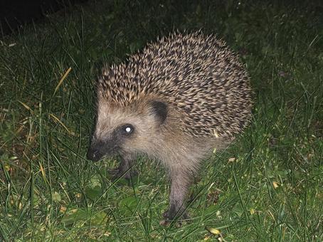 밤의 잔디에서 보인 고슴도치