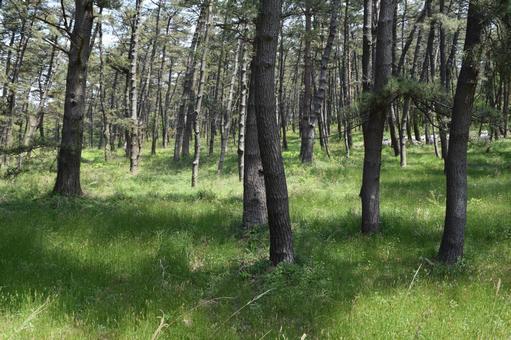 Pine forest coastal sabo forest